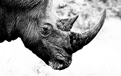 Rapid screening protocol for taxonomic identification of rhino horns developed by the U.S. Fish & Wildlife Service